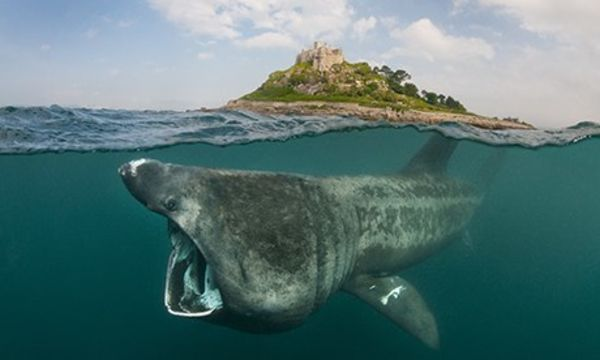 A Basking Shark The Size Of A Bus Was Captured On Footage!